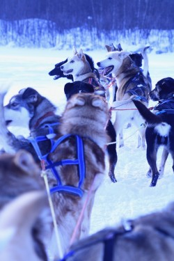 dogsled4